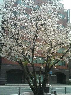 image/kurochiyo-2006-04-09T09:08:31-1.JPG